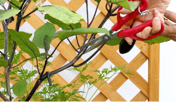 ・強剪定~1節ずつ切り戻す。  ・弱剪定~2節ずつ切り戻す。  ・加減して剪定~苗の状態の様子をみながら切り戻す。  元気のいい枝をわざわざ切り戻しせずに、本当に疲れ切った枝を切り戻しましょう。
