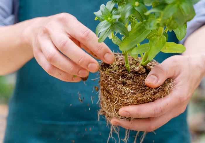 隣り合う苗の株元が蒸れてしまうことを防ぐため、株元の下葉を数枚取って風通しを良くしましょう。