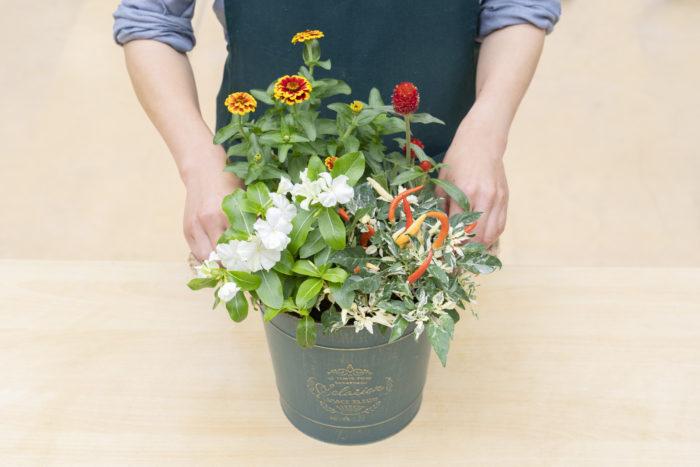 ニチニチソウとトウガラシを鉢の前方に植えます。トウガラシは根を崩すと株がいたみやすいので、あまり根を崩さないで植えます。