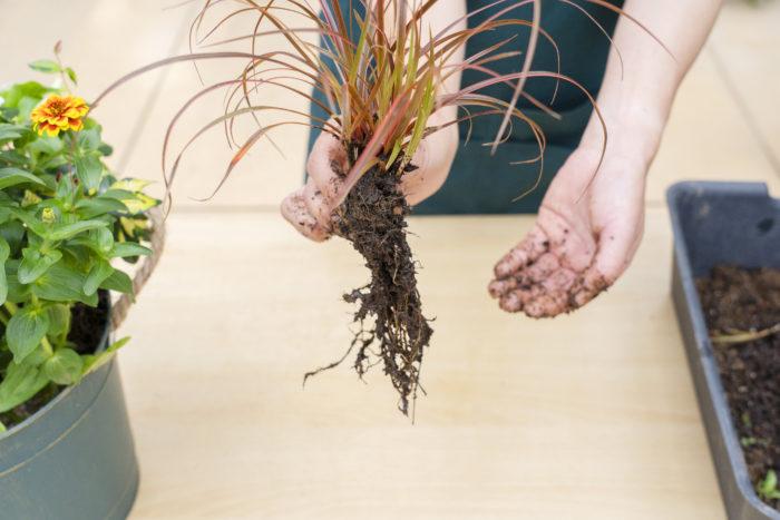 寄せ植えを作っていると、思っていた以上に鉢の中のスペースがなくなり、すべての苗が入らないのではと思うことがありますよね。そんな時は、空いているスペースに合うように苗の土の部分の形を整えます。  今回、寄せ植えのアクセントとして最後に植えたウンシニアは、スペースに合わせて形を細長く整えました。植物によっては根を傷めない方が良いものもあるので、事前にチェックして行いましょう。