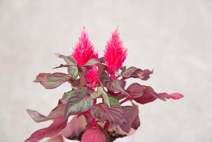セロシア~ヒユ科 非耐寒性一年草~  もこもこふわふわした華やかな花穂と、美しい銅葉が特徴です。
