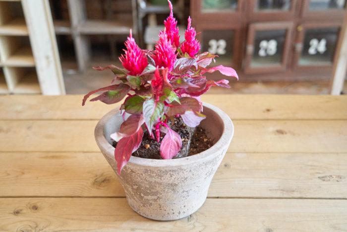 セロシアは2苗使います。正面から見て苗が重ならないよう、少し斜めにずらして配置しましょう。暑い時期は植物の根が傷みやすいので、なるべく根を崩さずに植えます。