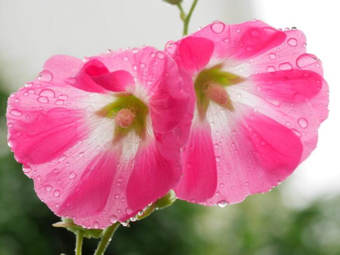 雨に濡れたタチアオイ。雫がとても綺麗ですね。