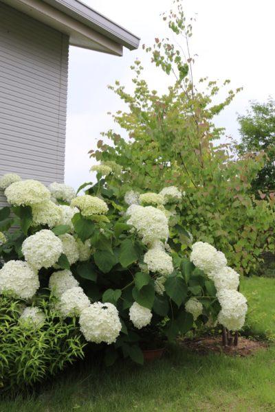 お庭に植わった大株のアナベル。素敵なお庭です!