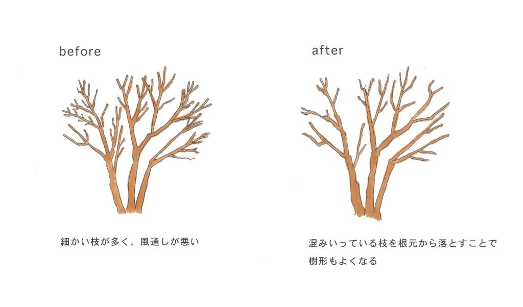 透かし剪定とは、伸びすぎたり混みすぎたりしている枝を適度に透かす剪定方法です。枝の密度を適度にすることで、日当たりや風通しが改善できます。風通しを良くすることで病害虫の予防にもなり、また樹形を良くすることも出来ます。大きくなり過ぎた樹木を小さくすることを目的とした強剪定と、枝先の不要な枝をおとす弱剪定があります。