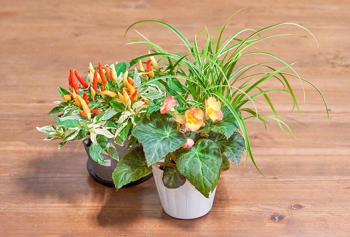 オオレンジの虹色フォーチュンベゴニア(写真:真ん中)をメインに、「こんもり育つ系」のトウガラシ(写真:左)と、「ラインがきれい系」のカレックス(写真:右)を合わせました。虹色フォーチュンベゴニアとトウガラシの2つが「こんもり育つ系」ですが、「ラインがきれい系」のカレックスを組み合わせることで動きが出て「こんもり育つ系」の2つの可愛らしさが目立ち、互いに引き立て合っています。