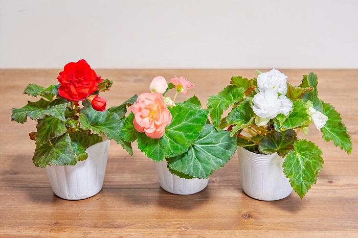 こんもり育つ系の例として、球根ベゴニアフォーチュンを紹介します。1ポットの中に八重咲きの雄花と一重咲きの雌花の両方が咲き、1ポットで2種類の花形が楽しめます。寄せ植えの主役にぴったりの華やかさがあります。