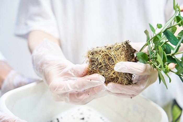 根がまわって窮屈そうな場合は、根を軽く崩して広げます。根を崩すことで根が活性化されて生長が良くなります。植物によっては根を崩すと逆に弱ってしまうものもあるので事前に調べてきましょう。今回使った苗の中では、フォーチュンベゴニアが根を崩さないで植える方が良いタイプです。