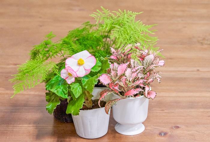 花びらの縁取りがピンクの虹色フォーチュンベゴニア(写真:真ん中)をメインに、ベゴニアと同じく「こんもり育つ系」のフットニア(写真:右)と、「上に伸びる系」のアスパラガス(写真:左)を合わせました。この組み合わせも「こんもり育つ系」が2つ入っているのですが、縁取りがピンクの虹色フォーチュンベゴニアと、フットニアのピンク色の葉が良く合い、「上に伸びる系」のふわふわしたアスパラガスの爽やかな葉とのバランスが絶妙です。フットニアとアスパラガスは観葉植物として室内に飾ることもできるので、室内の窓辺で花を育てたい方にもおすすめの組み合わせです。