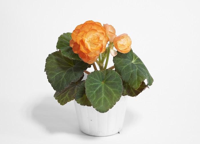 フォーチュンベゴニア~シュウカイドウ科 半耐寒性球根~ フォーチュンベゴニアの花は気温が下がるにつれて大きくなり、色も良くなり、花もちも良くなります。フォーチュンベゴニアは春にも出回るのですが、夏の高温多湿が苦手なので秋に植えた方がその美しさを存分に楽しめます。 ※今回のフォーチュンベゴニアは飯塚園芸さんよりご協力いただきました。ありがとうございました!また、1ポットの中に八重咲きの雄花と一重咲きの雌花の両方が咲くこともフォーチュンベゴニアの魅力です。