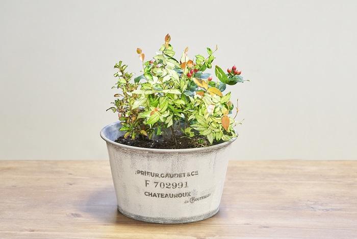 コプロスマをヒペリカムの左側に、テイカカズラを真ん中に植えます。初心者は株分けせずにそのまま植えるのがおすすめです。