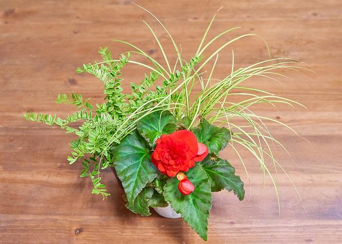 赤のフォーチュンベゴニア(写真:真ん中)をメインに、「ラインがきれい系」のカレックス(写真:右)とロニセラ(写真:左)を合わせました。「ラインがきれい系」を2つ使いましたが、低木のロニセラは多年草のカレックスに比べて背も高くなり力強さもあるので、異なる魅力が引き立て合い見栄えのする組み合わせになっています。