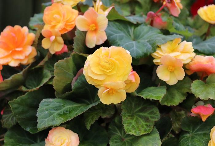 植物は、秋になると生長がゆっくりになります。暑さで蒸れる心配も無いので、秋は寄せ植え作りに適したシーズンです。 今回は秋の寄せ植えの主役として、「フォーチュンベゴニア」と「虹色フォーチュンベゴニア」をおすすめします。おすすめの理由は、まずカラーバリエーションが豊富なこと。そして、「フォーチュンベゴニア」と「虹色フォーチュンベゴニア」の花は気温が下がるにつれて大きくなり、色も良くなり、花もちも良くなることがあげられます。