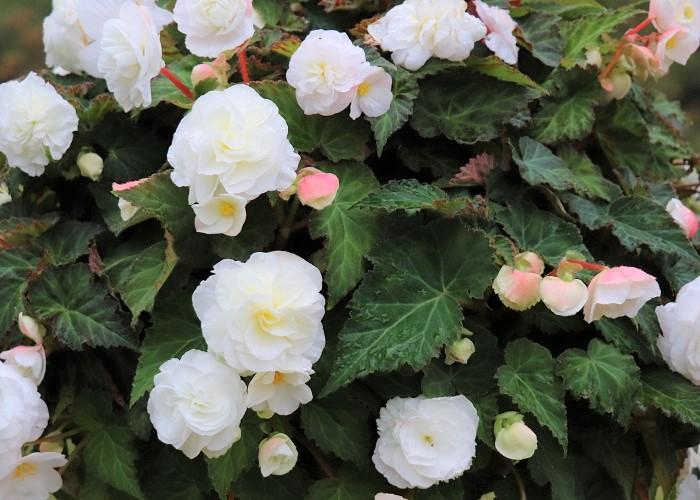 「フォーチュンベゴニア」は春にもよく出回るのですが、夏の高温多湿が苦手なので秋に植えた方がその美しさを存分に楽しめます。「虹色フォーチュンベゴニア」は国内生産は飯塚園芸さんのみだそうなので、見かけたらぜひ育ててみて下さい。日当たりの良い場所から半日陰の場所が好きです。植え付け後は冬に強い霜にあてずに凍らないように管理をすると、春に再び芽が出て初夏に花が咲きます。 それでは、そんなフォーチュンベゴニアと虹色フォーチュンベゴニアを主役に3ポットで作る秋の寄せ植えの組み合わせを考えてみましょう!