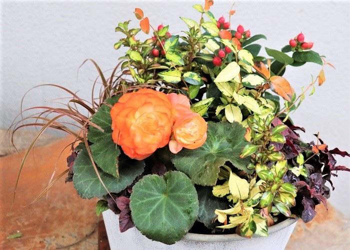 完成後すぐの水やりは、何度かに分けて鉢底から水が流れ出るくらいたっぷりとあげます。花や葉に水をかけるのではなく、株元に水やりしましょう。日当たりから半日陰の場所で育てます。 フォーチュンベゴニアの花は、咲き終わったら茎ごと取ります。ヒペリカムの実は、黒くなったらカットしましょう。 フォーチュンベゴニアとアルテルナンテラは寒さに弱いので、凍ってしまわなければ外で冬越しできます。寒くなる前に室内に取り込んで明るい窓辺で育ててもいいですね。春に霜の心配がなくなったら外に出して育てると、初夏に再び咲きます。フォーチュンベゴニアは真夏の高温多湿が苦手なので、夏は明るい日陰に置くと良いです。