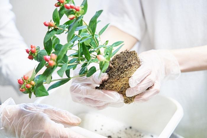 苗をポットからはずし、株元の枯れ葉やコケ、雑草などを取り除いて土の表面をきれいにします。