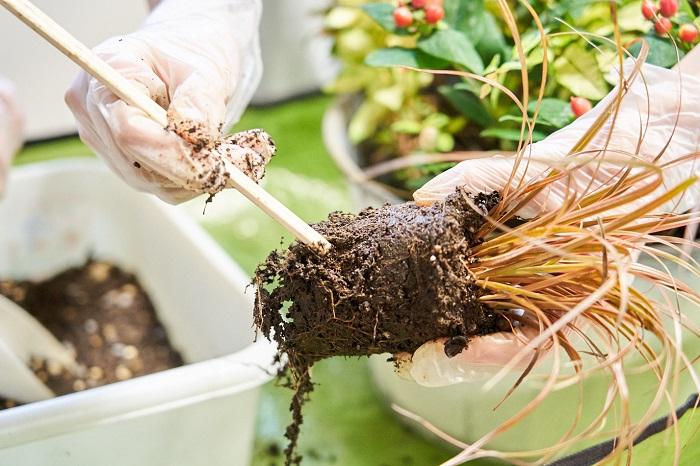 ウンシニアの根を崩す時は、割りばしを使っても良いそうです!ポットまわりの根を毛羽立たせてあげると、根が新しい土になじみやすいと教わりました。