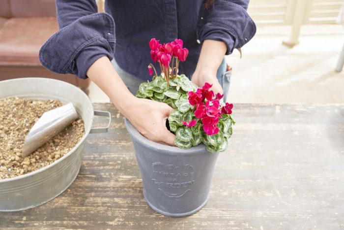 ガーデンシクラメンを2株、斜めにずらして配置します。寄せ植え全体のまとまり感を出すため、同じ色を選んでいます。