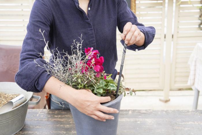 蒸れ防止のため、他の植物と比べてガーデンシクラメンの株を少し浮かせるイメージで高めに植えます。隙間にしっかりと土を入れて完成です。長い棒を使って隙間をつっついていくと、土が入っていない場所がわかるのでおすすめです。太めの菜箸を使ってもいいそうですよ。 次は、間室みどりさんに教わった作り方の細かいポイントと長く楽しむための管理方法を紹介します!