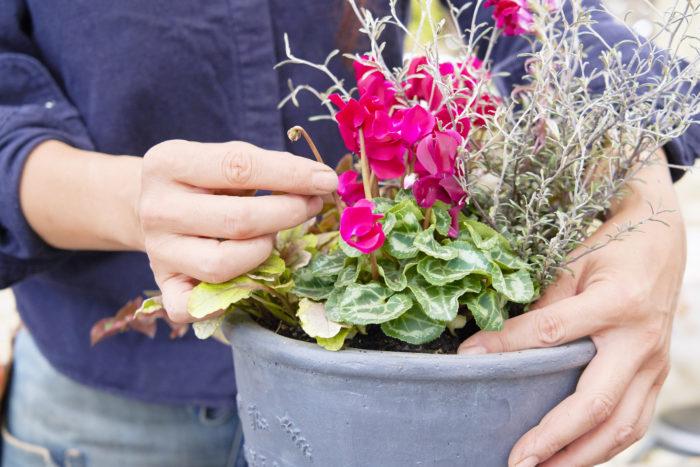 ガーデンシクラメンの花が終わったら、タネになる前に取り除きます。根元をしっかり抑えながら茎をねじり、上にひっぱるように取ります。