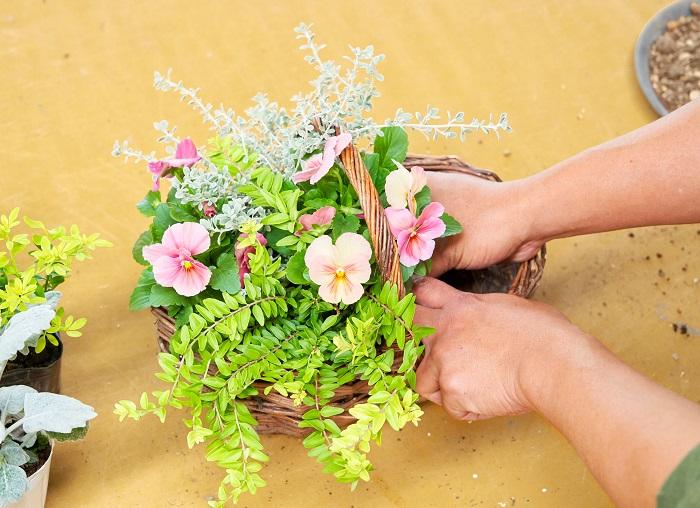 同じように土を落としてロニセラ ゴールドを手前に植え付け、2ポット目のパンジーを真ん中に植え付けます。