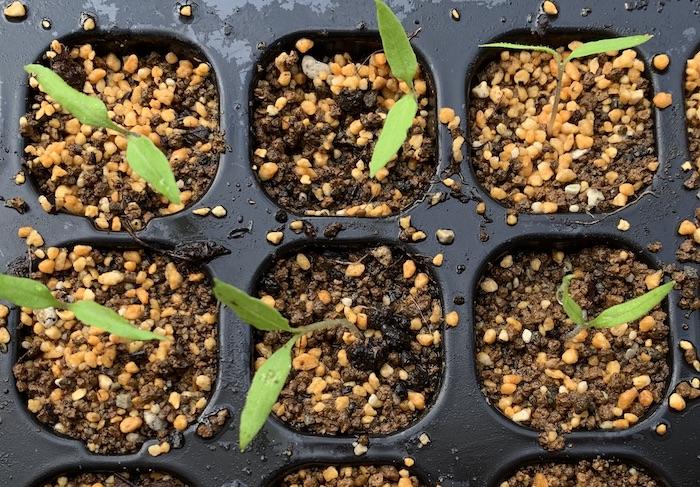 育苗、ミニトマト、双葉、発芽、エディブルガーデン