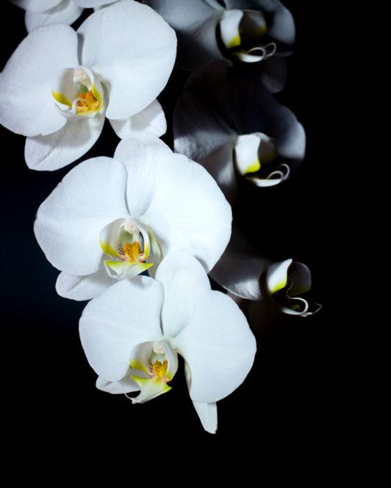 凛とした姿が魅力的な胡蝶蘭。これぞシンプルビューティー。