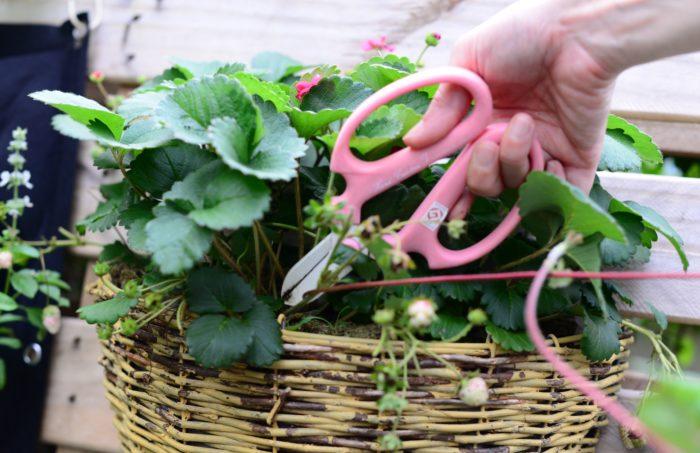 ランナーを摘み取ると、イチゴの実に栄養を取り入れ甘くなると言われています。伸びてくるランナーを摘み取る場合には、付け根から剪定するといいでしょう。
