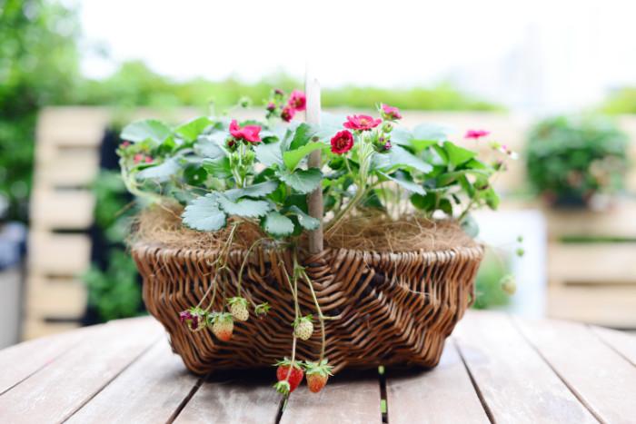 見た目も可愛らしいサントリー本気野菜「ローズベリー・レッド」。バスケットに植え付ければ、さらに可愛らしさもUP!