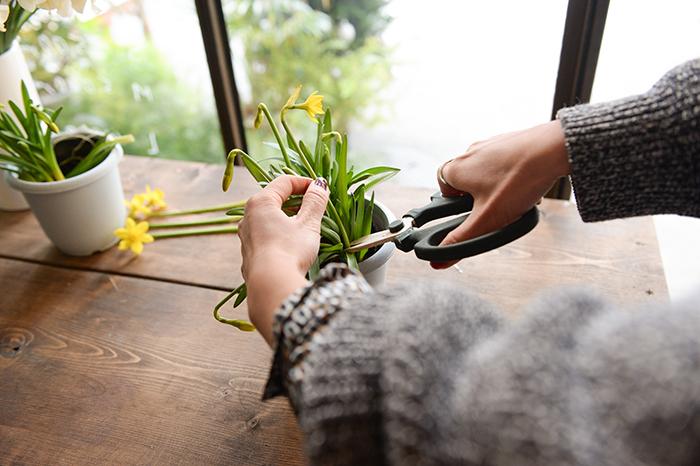 1.鉢植えの場合、スイセンの茎を根元から切って使用する。