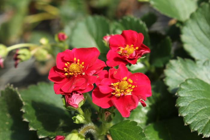 花もキレイで美しい。サントリー本気野菜「ローズベリー・レッド」は、イチゴの実だけでなく、花もキレイで見た目も楽しめます!小さいバラのような八重咲きの赤い花が華やかに咲き誇ります。