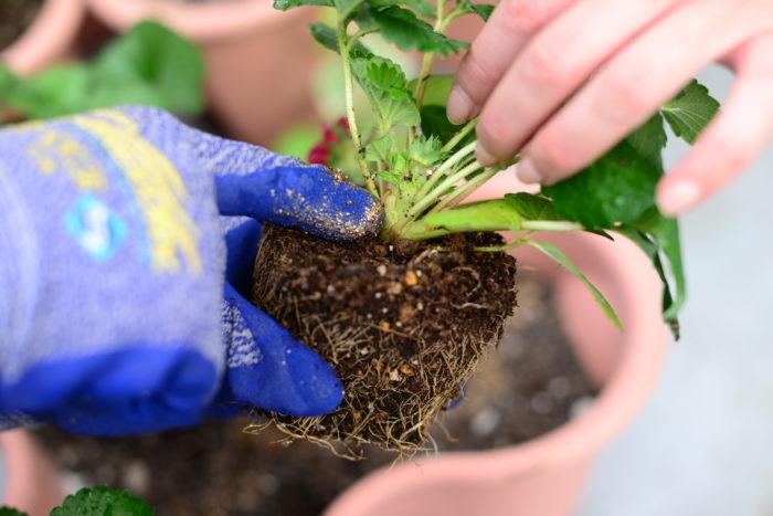 イチゴを植え付けるときは、生長点でもあるクラウン(根元にある葉の付け根部分)を埋めないようにして、浅植えにします。