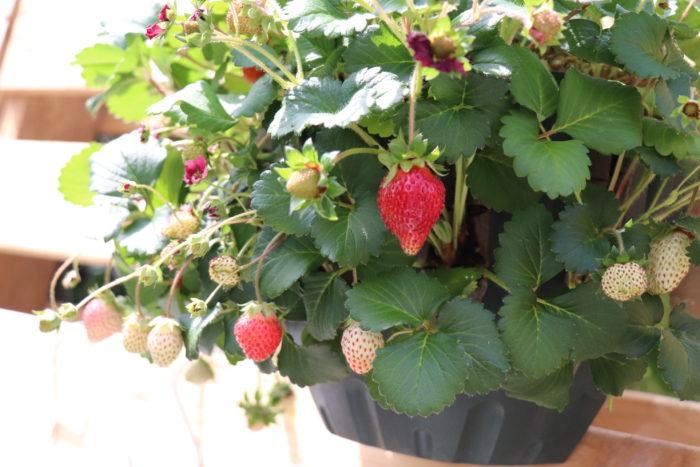 6号鉢や7号鉢など、土の容量が3L程度の鉢やプランターでも、イチゴの実が豊富にたわわに実ります!ベランダのような限られたスペースでイチゴ栽培を楽しめます。