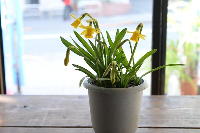 スイセン  Narcissus  DATA  英名 Daffodil  科・属 ヒガンバナ科スイセン属  原産地 地中海沿岸・北アフリカ・スペイン・ポルトガル