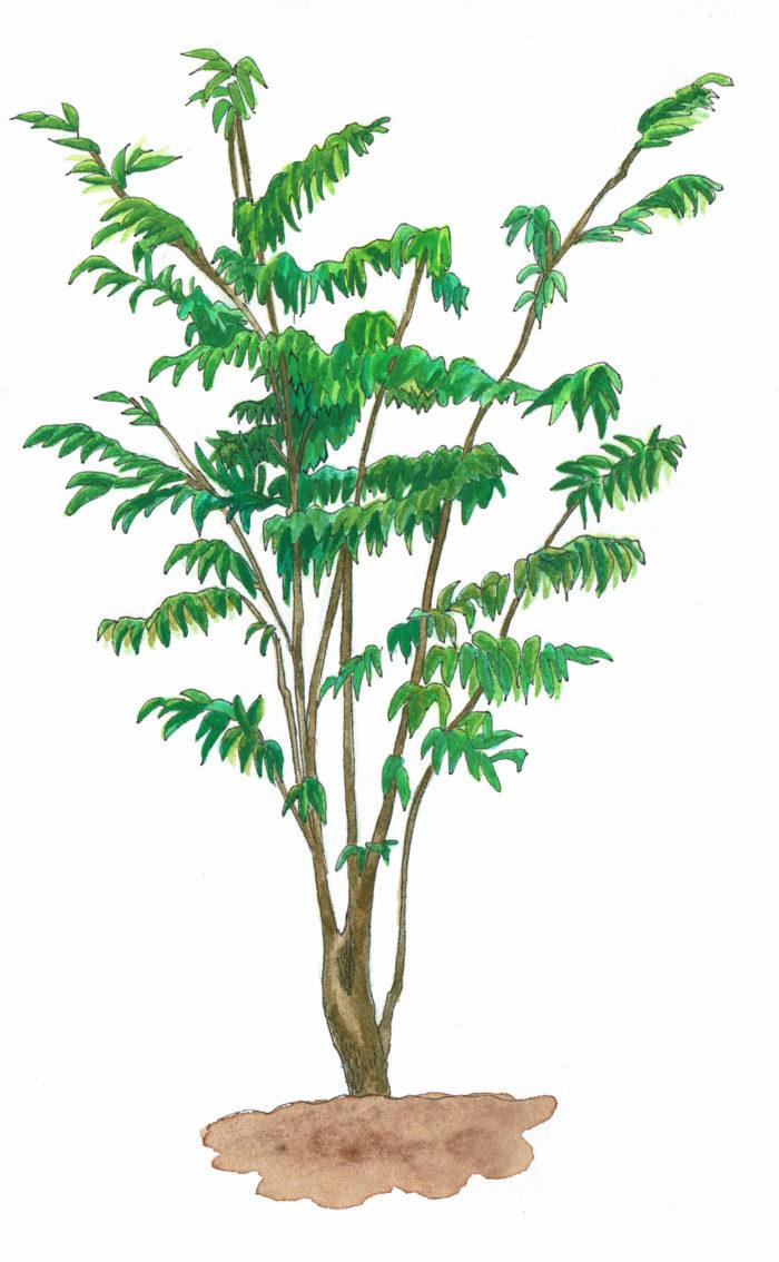 ハイノキはもともと雑木林の中で生きている樹木なので、日光が少ないところでも生育できます。逆に日差しが強いと弱ってしまうので、日当たりの悪い環境に向いています。緑が少し波打っている葉は垂れ下がるように枝から生えています。枝先に小さな白い花を密集させて咲かせ、満開になるとふわふわとした印象に。