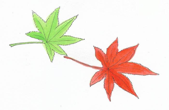 葉の緑に深い切れ込みが入り手のひらのような形をしています。春~夏は鮮やかな緑色をしていますが、秋になると真っ赤に染まります。