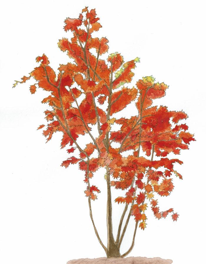 和のイメージが強いイロハモミジですが、全体的に柔らかな印象があるためどんなタイプの庭にもよく似合います。また、様々な環境にも対応しやすいことと、種類が多いことも定番のシンボルツリーとして愛されている理由です。