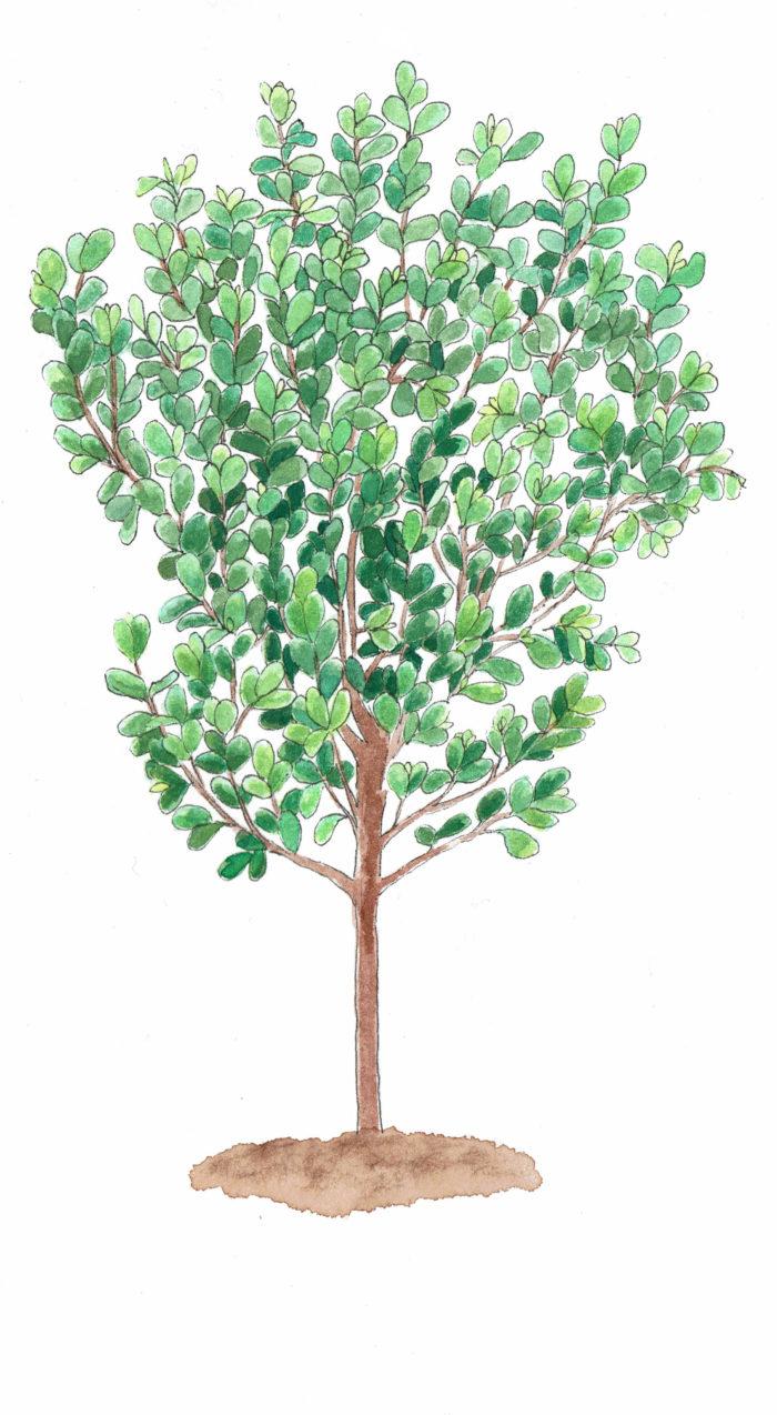果樹として栽培されることもある樹木です。フェイジョアの果実はパイナップルやキウイの様な南国の果物の味がします。品種によって1本でも実がなるものもあります。変わった果樹をお探しの方におすすめです。