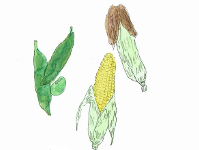 なぜ良いの?  枝豆をトウモロコシの側で育てることで、トウモロコシの天敵アワノメイガが寄り付かなくなり、枝豆の天敵コガネムシの飛来も減るようです。  また、枝豆はマメ科の特徴である根粒菌により窒素を固定するため、トウモロコシの生育も良くなります。