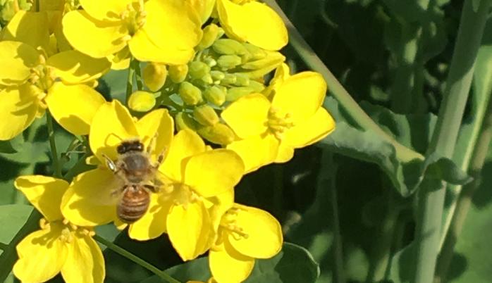 マリーゴールド、ナスタチウム、ボリジ、カモマイルなどを植えると、受粉を助けてくれるハチやアブなどを集めることができます。スイカやズッキーニなどの受粉が結実に欠かせない作物の良い助けになってくれます。