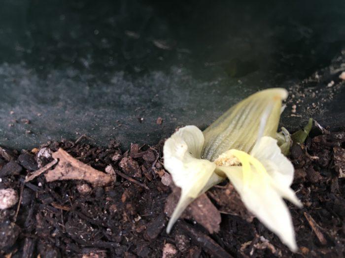 収穫するタイミングは、必ず花が咲く前の蕾の時期に収穫しましょう。花が咲いてしまったら1日で萎れてしまいます。食べきれなくても早めに収穫して、冷蔵庫で保管しておいた方が美味しくいただけます。