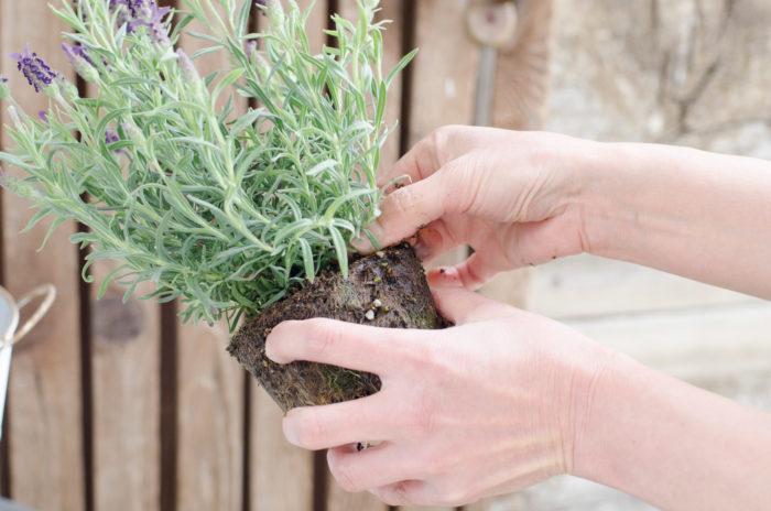 ②ラベンダーを手前中心に置く。蒸れるやすいため地際の土を落とす