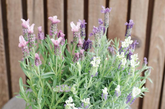フレンチラベンダー  紫のイメージがありますが、ピンクや黄色を取り入れると寄せ植えのイメージが変わります。