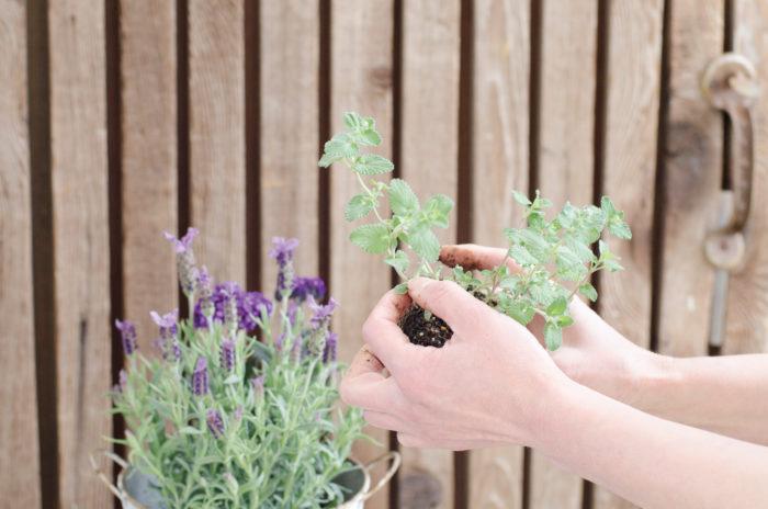 ④ネペタを右奥に植える。ネペタの長く伸びている方を中央の苗に絡ませるように意識しながら植えると良い。