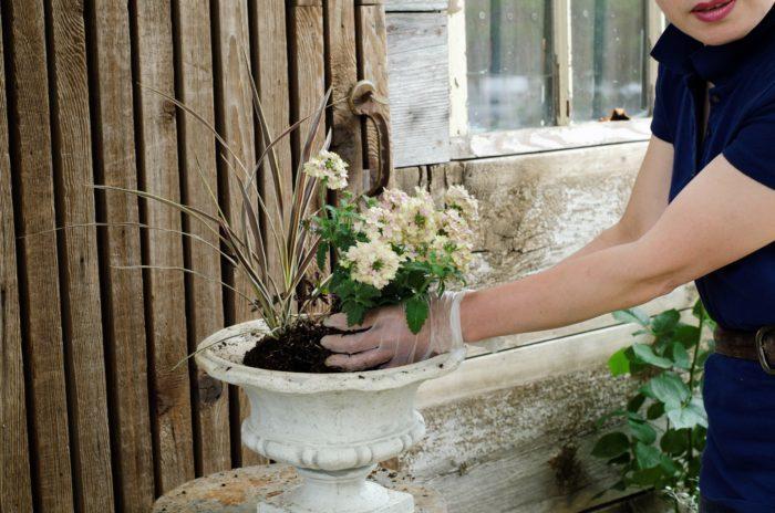 バーベナをコルジリネの前に植える。