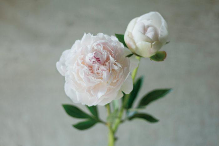 シャクヤク  英名:Paeonia lactiflora  科名:ボタン科  属名:ボタン属  原産地:アジア北東部