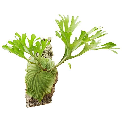 プラティケリウム リドレイ Platycerium ridleyi