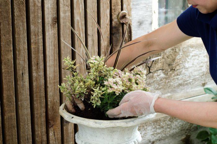 バーベナの両脇にへーべを植える