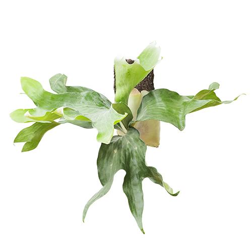 プラティケリウム ヒリー Platycerium hillii