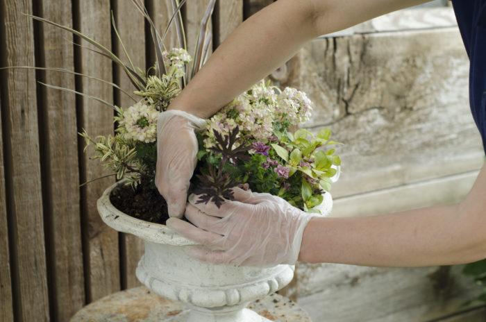 リシマキアとゲラニウムを植える。ゲラニウムはカラーリーフとして使用。